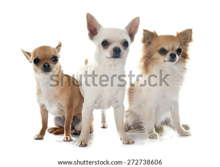 young chihuahuas in front of white background - stock photo