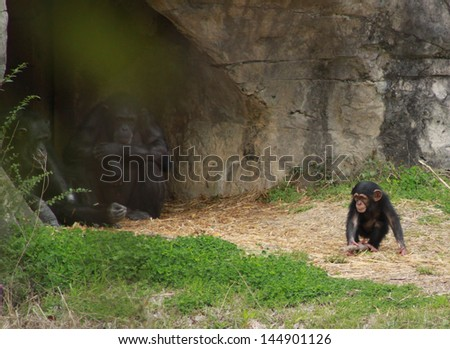 Young chimp playing while adults watch from cave - stock photo