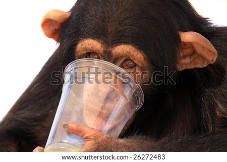 Young Chimpanzee drinking from a glass.  Isolated on white background. - stock photo