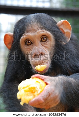 Young Chimpanzee eats orange - stock photo
