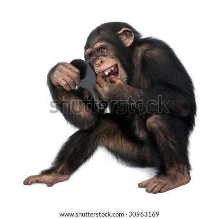 Young Chimpanzee looking at his teeth in a mirror  in front of a white background - stock photo