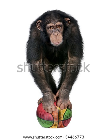 Young Chimpanzee playing with a ballon and looking at the camera - Simia troglodytes (5 years old) in front of a white background
