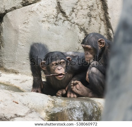 Young Chimpanzees playing with a twig