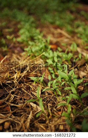 young Chinese Broccoli plant in bed - stock photo