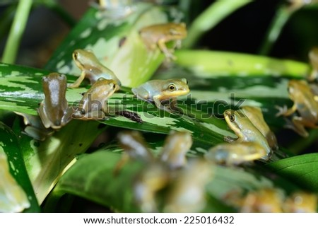 Young Chinese flying frog Rhacophorus dennysii after metamorphose - stock photo