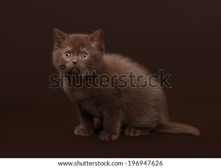 young chocolate british cat on dark brown background
