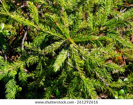 Young Christmas tree top view close-up - stock photo