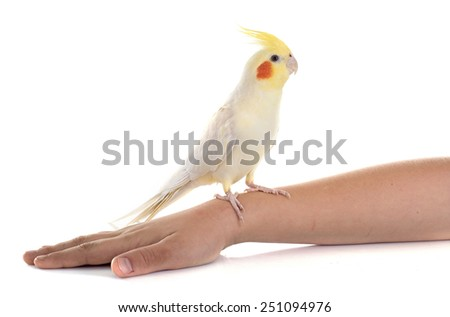young Cockatiel in front of white background - stock photo