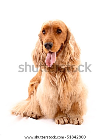 Young cocker spaniel isolated on white - stock photo