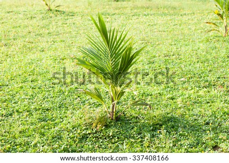 young coconut  plant