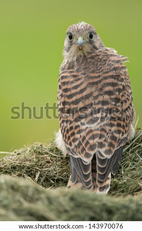 Young common Kestrel with some nest feathers