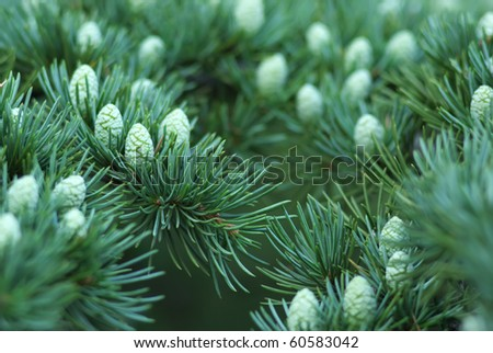 Young cones of spruce. Nature composition. - stock photo