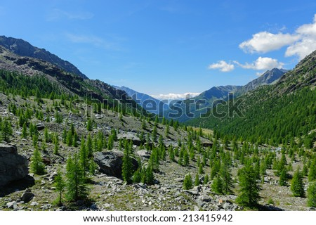 Young conifer rising high in the mountains - stock photo