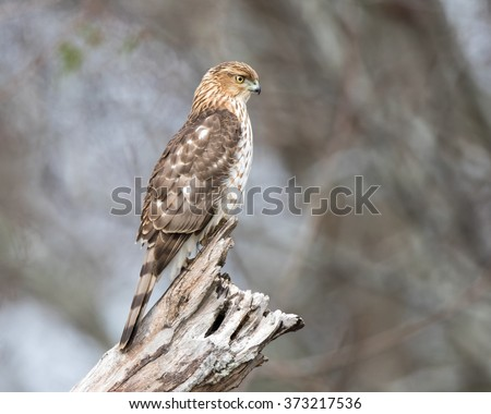 Young Coopers Hawk - stock photo
