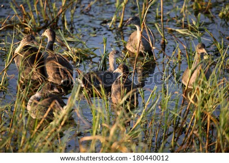 Young coots in a Saskatchewan roadside pond - stock photo
