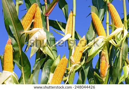 Young corn  - stock photo