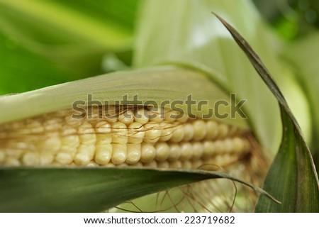 Young corn cob at a farmer's field - stock photo