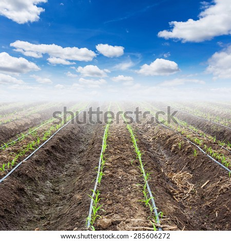young corn field and blue sky with drip irrigation - stock photo
