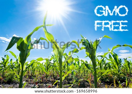Young corn field close-up at the sunset - stock photo