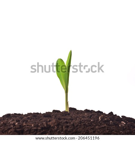 Young corn plant sprout growing from the ground. Agricultural cultivated growth.