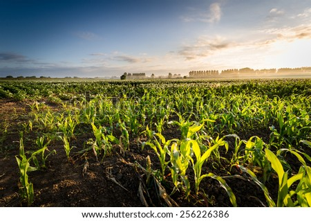young corn plants illuminated by the rising sun - stock photo