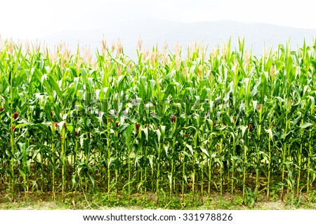 Young corn tree.Cornfield in thailand - stock photo