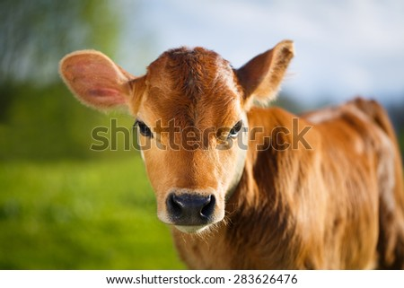 young cow - stock photo