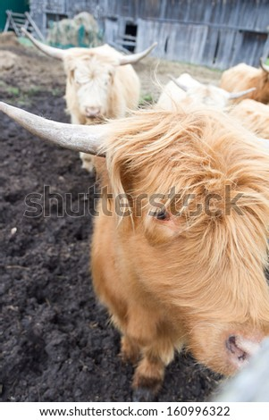 Young cow at Ottawa , Canada - stock photo