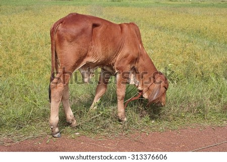 Young cow eat grass in the field