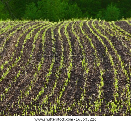 Young crops - stock photo