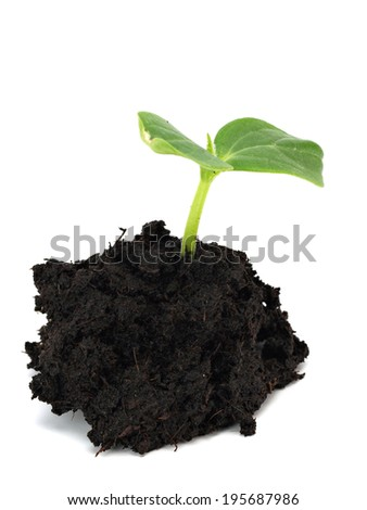 Young cucumber plant sprout on a white background