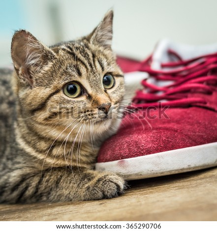Young, curious looking cat with red sneaker at home on wooden floor - stock photo