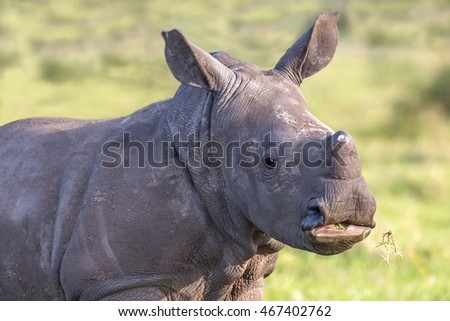 Young cute and alert white rhino calf eating grass