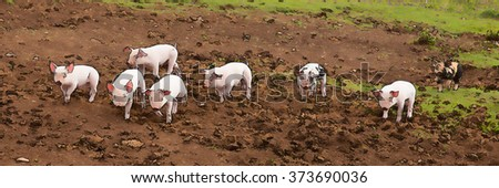 Young cute baby piglets running to camera including a spotted pig with black spots panoramic view illustration