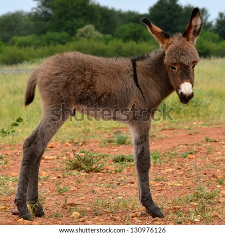 young cute donkey in Botswana country - stock photo