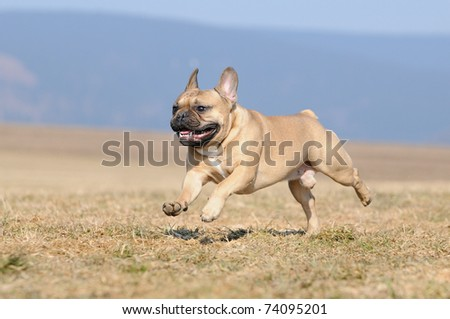 young cute French Bulldog puppie 11 months  running - stock photo