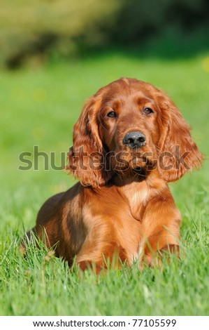 young cute Irish Setter Dog Puppy 4 months in the meadow in evening Portrait