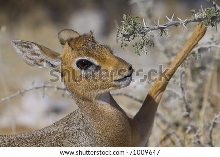 young damara antelope with lifted bone - stock photo