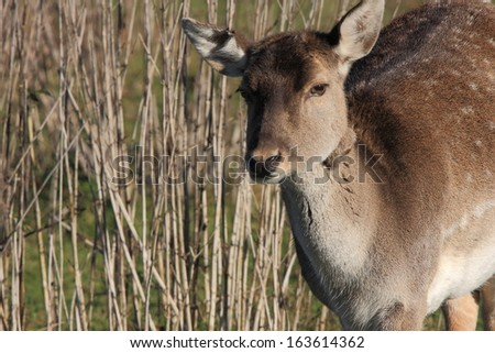 Young Deer. A young Deer ventures out into a clearing in the forest - stock photo