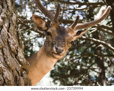 Young deer buck in woods
