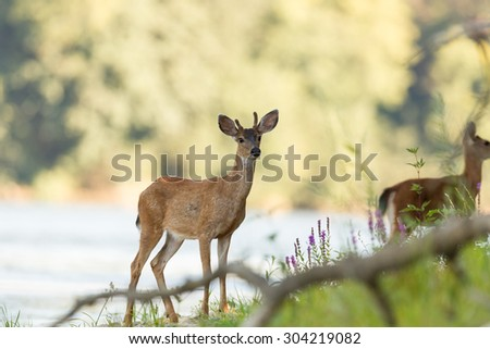 Young deer close up portrait. - stock photo