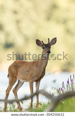 Young deer close up portrait.