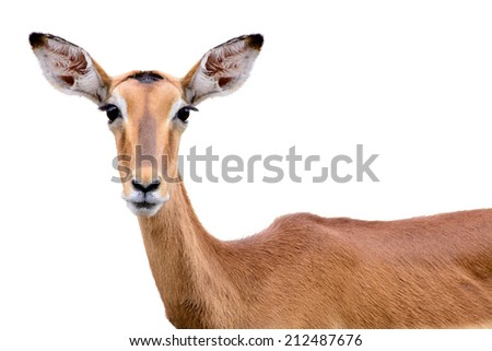 Young deer isolated on white background - stock photo