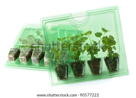 """Young Dichondra """"Silver Falls"""" and Satureja """"Indian Mint"""" plants of  in packs for mail order - stock photo"""