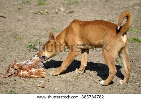 Young dingo, Canis lupus dingo, eating poultry - stock photo