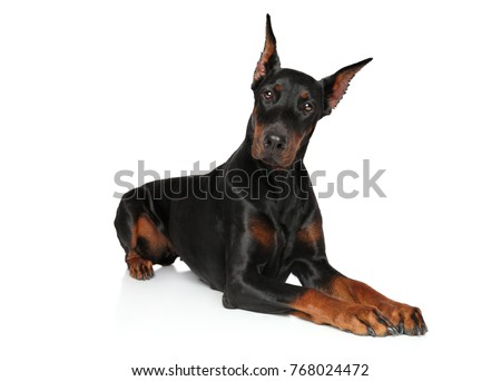 Young Doberman lying on a white background