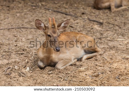 Young doe deer in forest