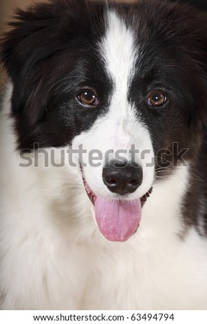 young dog Border Collie looking and smiling with loll out  tongue - stock photo