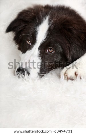Young dog  Border Collie lying on white carpet - stock photo