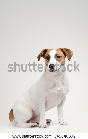 Young dog Jack Russell terrier on the gray background